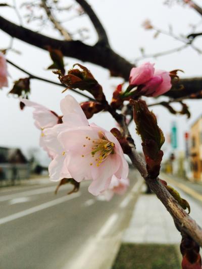 2015.4.28桜1