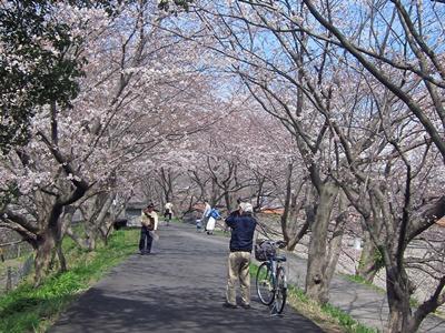 2015_0328桜ポタ0032