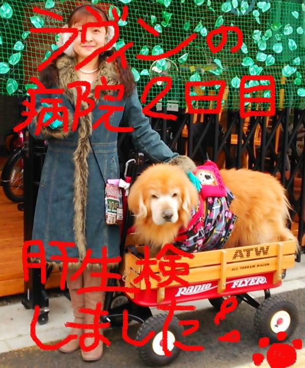 2015年1月6日(火)ラヴィン肝生検の日