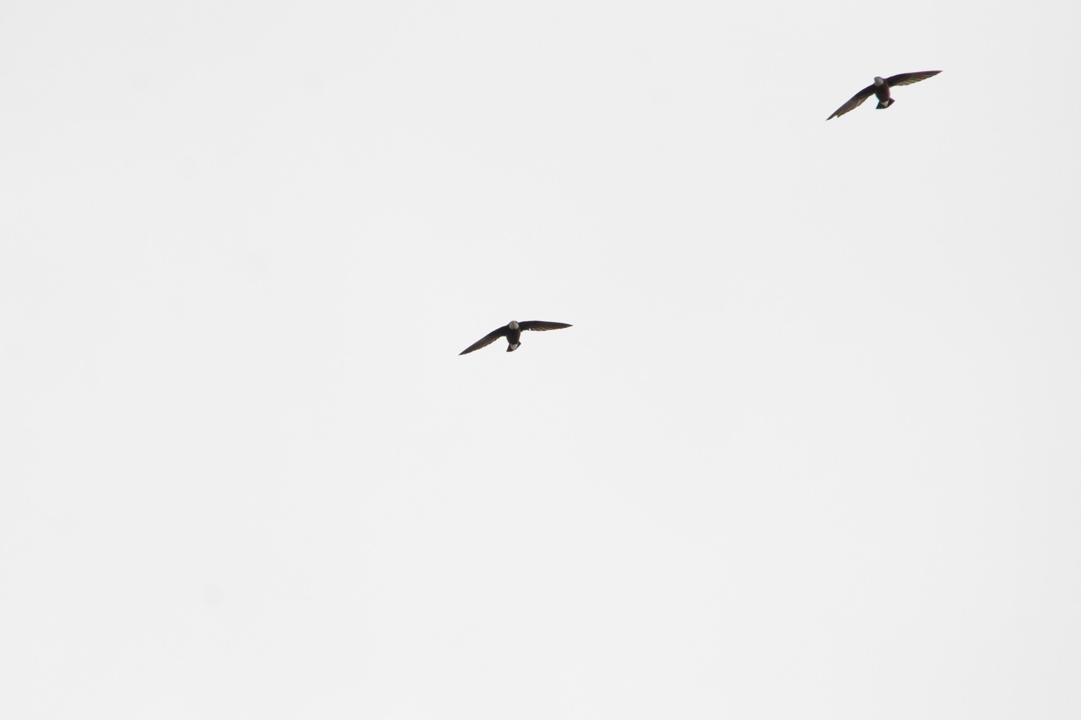 2羽のハリオアマツバメ