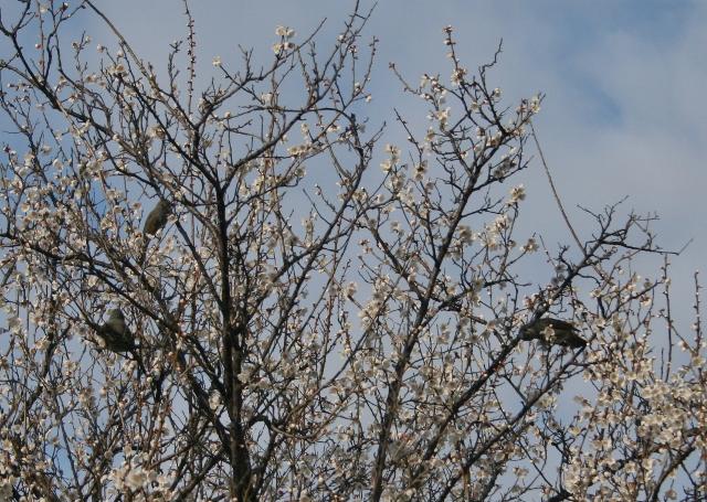 IMG_6433 梅に鳥たち(640x455)