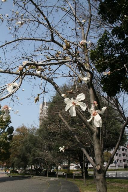 IMG_6530 コブシ開花(427x640)