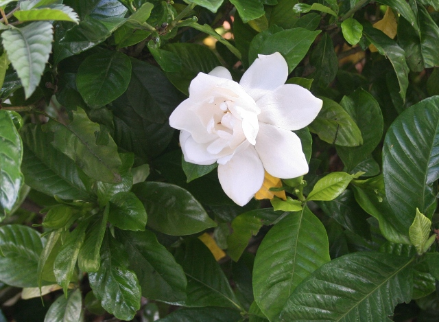 IMG_8259 クチナシの花(640x469)