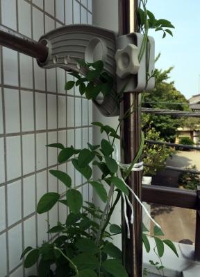 蝶豆2015-03