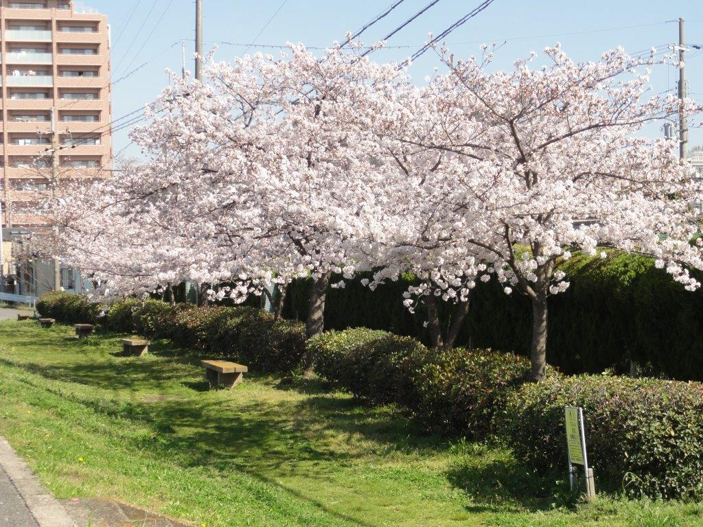 50桜並木DSC00007