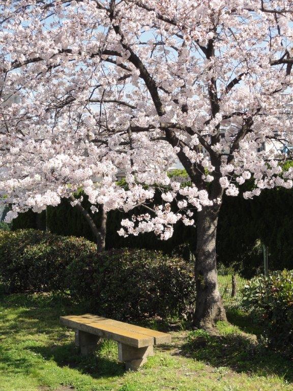 50桜とベンチDSC00009