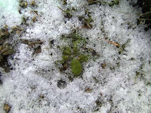 冬至の雪に埋もれそうなロゼット