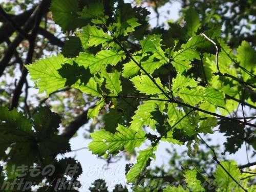 ミズナラの葉
