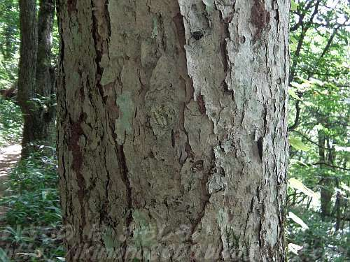 ミズナラの樹皮