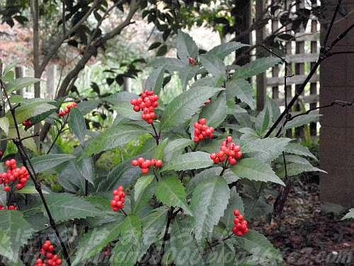 緑の葉に赤い実が映えるセンリョウ(花の文化園)