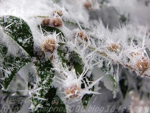 アセビの実も樹霜に覆われています