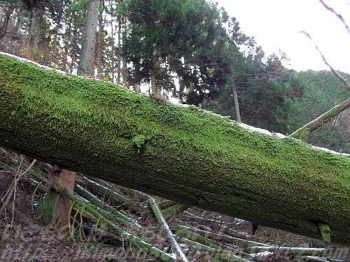 カヤンボ谷の苔生した倒木