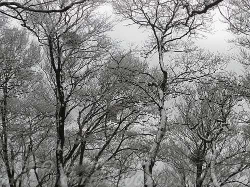 葉を落としたブナにつく樹氷