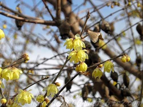 葉より先に花が咲く落葉樹