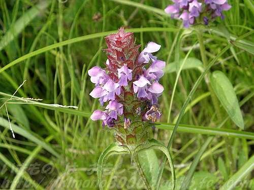 6月中旬の下赤阪の棚田のウツボクサの花