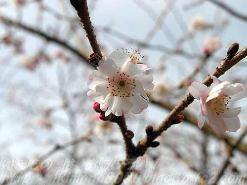 十月桜(じゅうがつざくら)