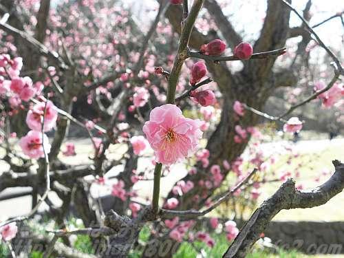 早咲きの八重の紅梅