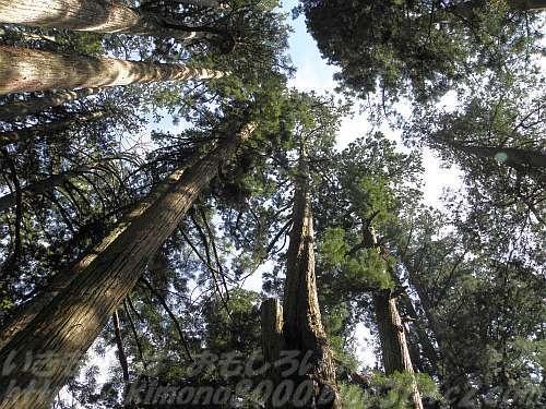 高野山の大きな杉も二酸化炭素の塊
