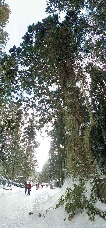 高野山の英霊殿近くの参道覆い杉(2015年1月)