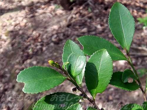 いかにも照葉樹っぽいヒサカキの葉