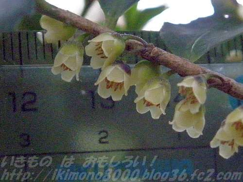 ヒサカキの雄花はこんな大きさ。