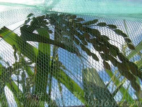 スズメよけの網を巻いた稲