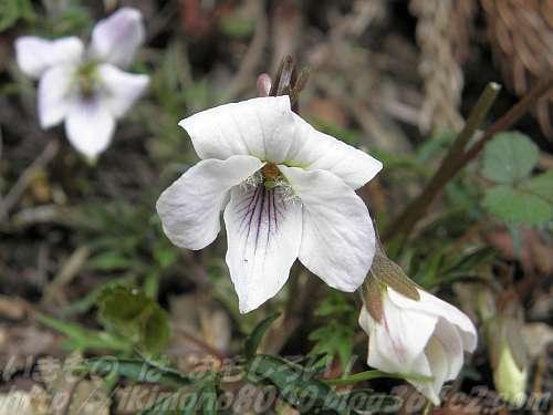 エイザンスミレの花