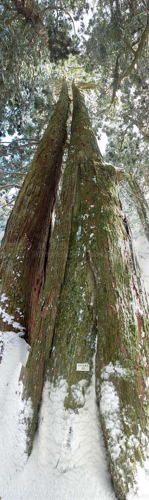 奥の院の参道の一の橋近くの平行杉〈特別母樹林20〉(2015年1月)