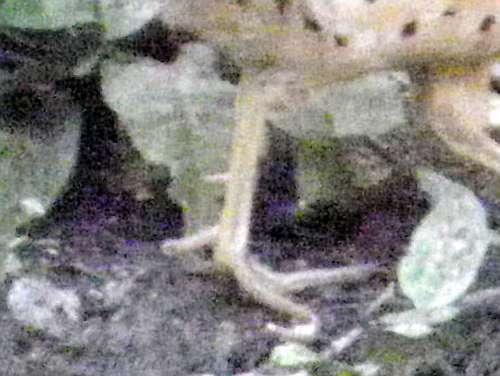 後ろ向きの指(第1趾)の上にトゲ(蹴爪)があるのがオス