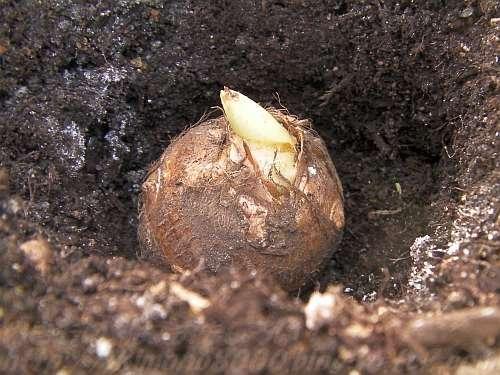 芋ですから土に埋めなくても芽が出ます
