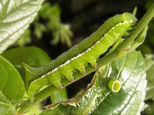 ガの幼虫 オオシマカタスヨトウ