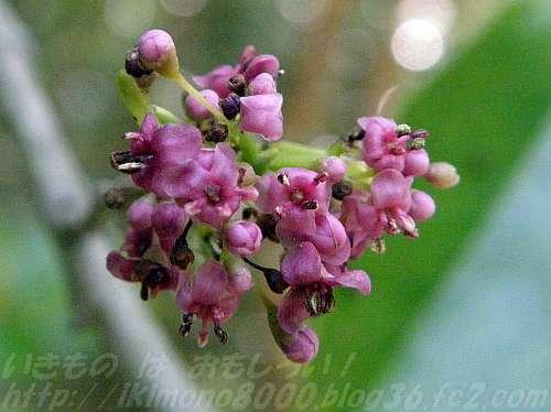 紫色の小さいナナミノキの花