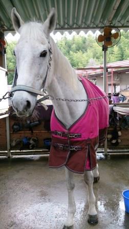 ピンクの馬着