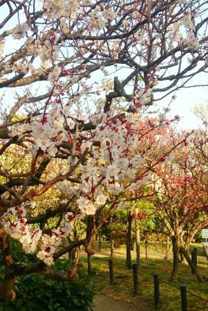 2015 甲東園の梅