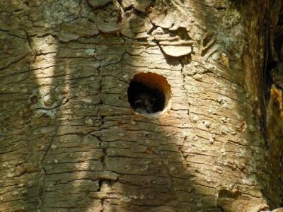 キツツキの巣