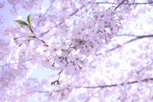 3月最後の桜 (3)
