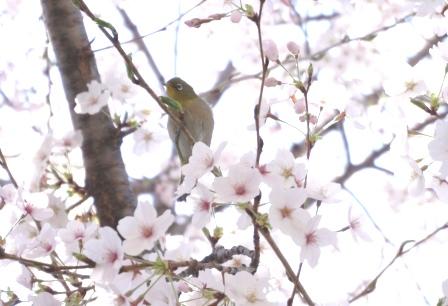 3月最後の桜 (4)