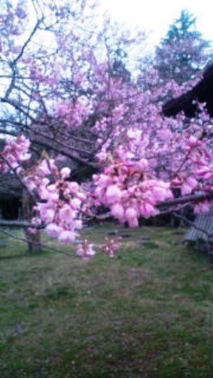 咲く2015サクラ