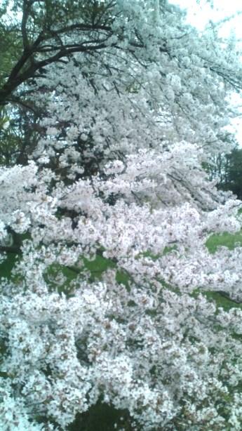 桜すごい2