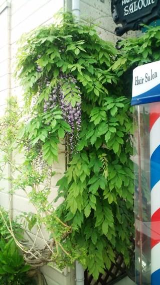 床屋さんの藤の花