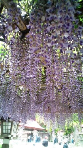 金蛇水神社の藤棚2