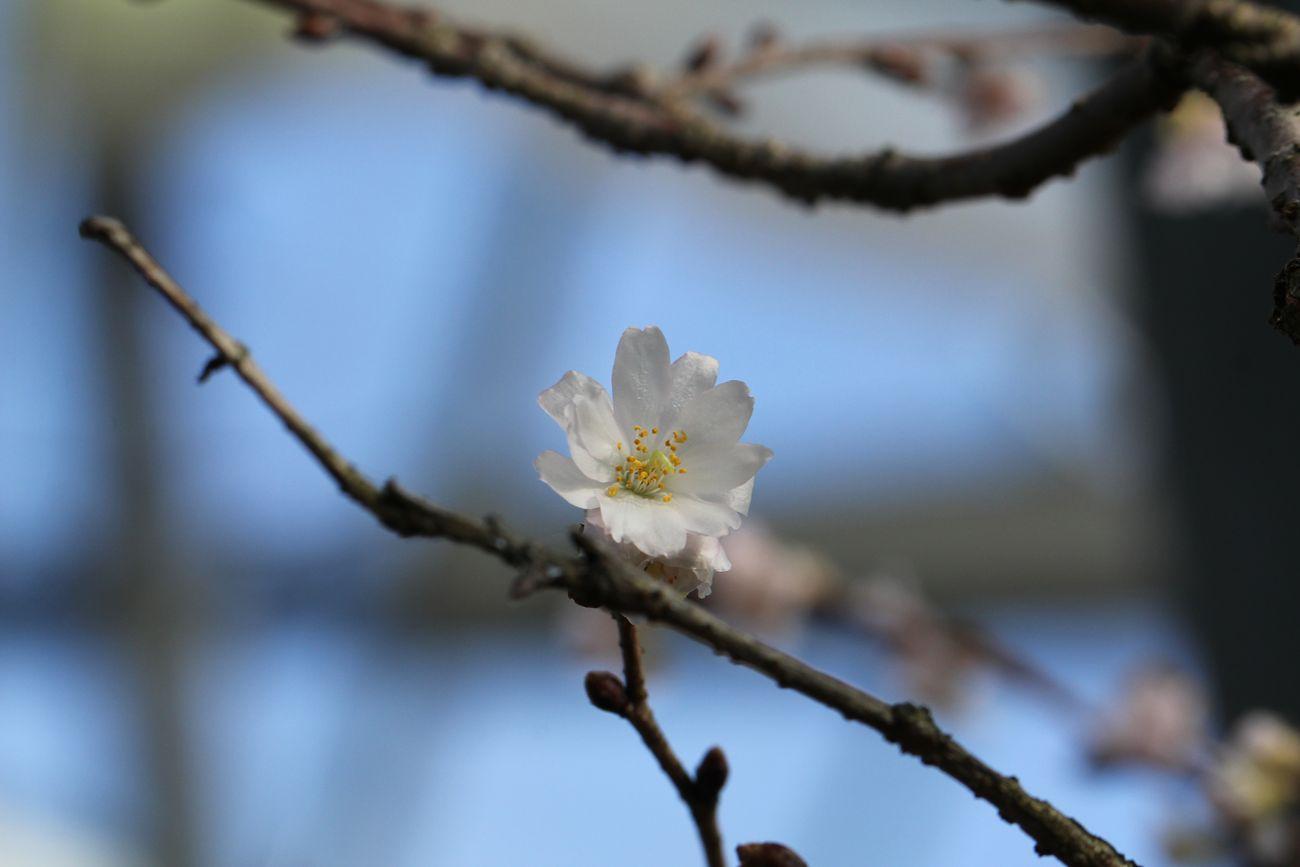 ●S十月桜2014・12・28FR_02