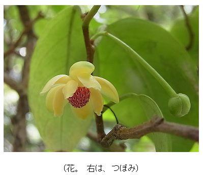 サネカズラ(ビナンカズラ)の花