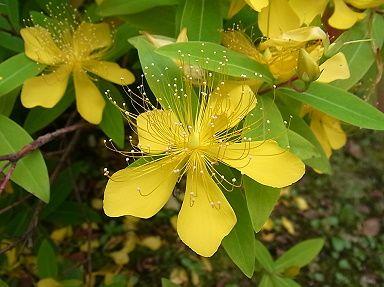 季節の花 ビヨウヤナギ