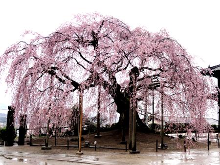 butaizakura4420swb.jpg