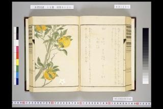 本草図譜巻六十五「柚」