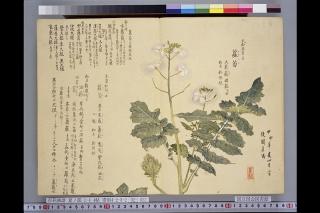 梅園草木花譜夏之部巻2「蘿蔔」