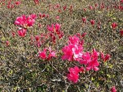 まだ蕾が多いが美しいミヤマキリシマ