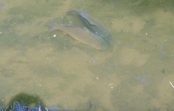 草島Gの鯉0529