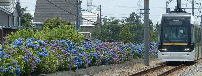 蓮町駅近くのあじさい